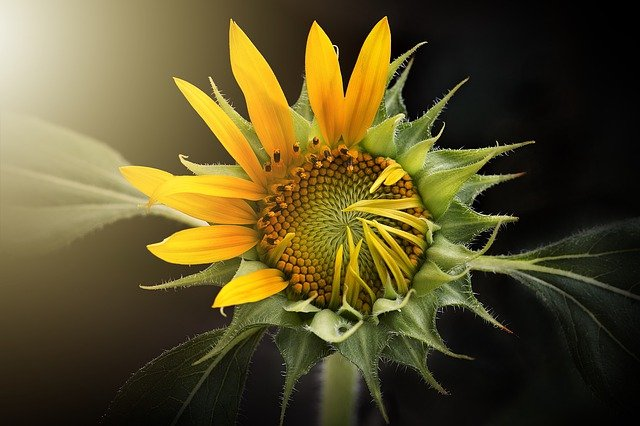 słonecznik